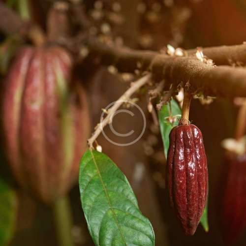 Selecting Cacao Beans